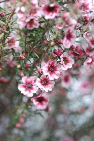 Chamelaucium (Flor de Cera)
