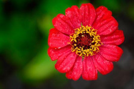 Zinnia (flor de papel)